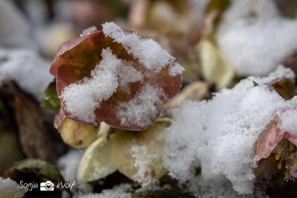 Schnee auf der Christrose