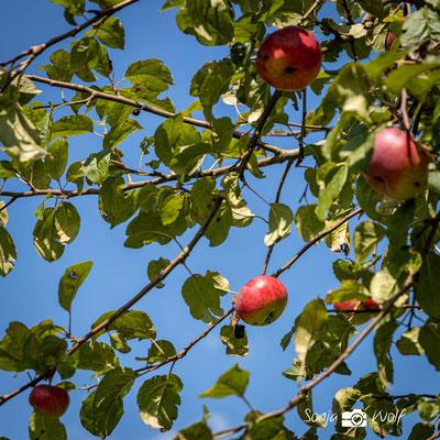 Woche 35 / Apfelzeit
