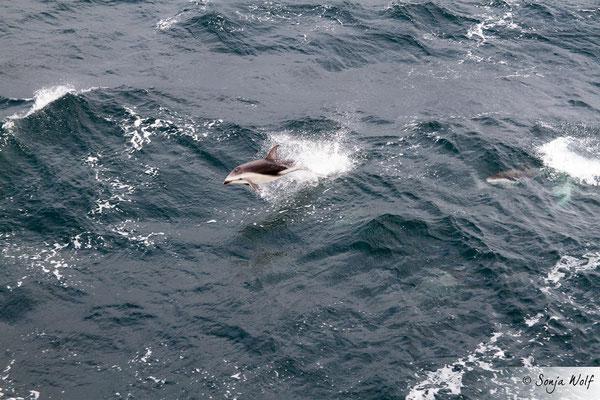 Woche 7 / Schwarzdelfin