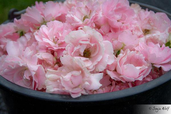 Woche 24 / Rosenblüten