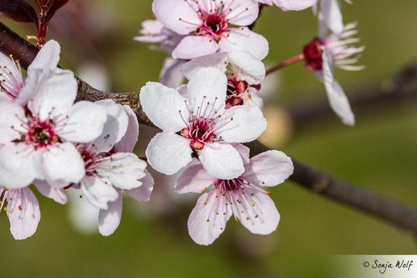 Blutpflaumenblüten
