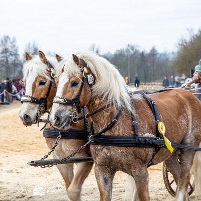 Pferdegespann Sieger