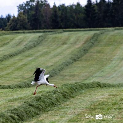 Storch auf der Wiese