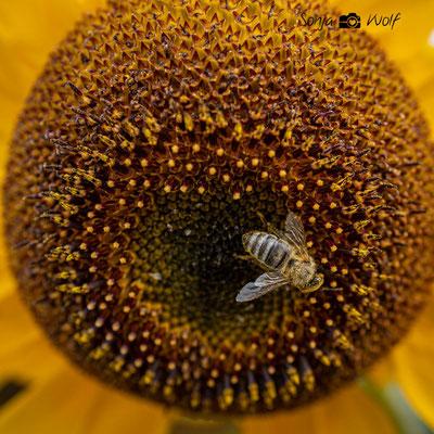 Woche 37 / Biene auf Sonnenblume