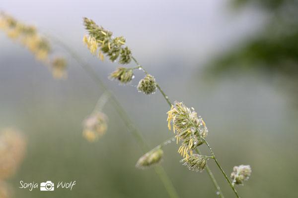 Gräser mit Tau