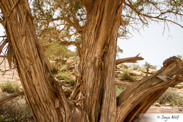 Wenig Bäume im Wadi Dana