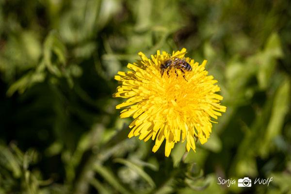 Löwenzahnblüte mit Biene