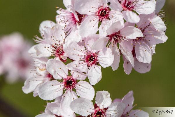 Woche 16 / Blutpflaumenblüten