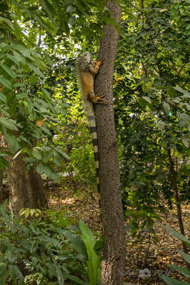 Leguan im Parque Historico