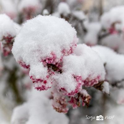 Blüten mit Schnee