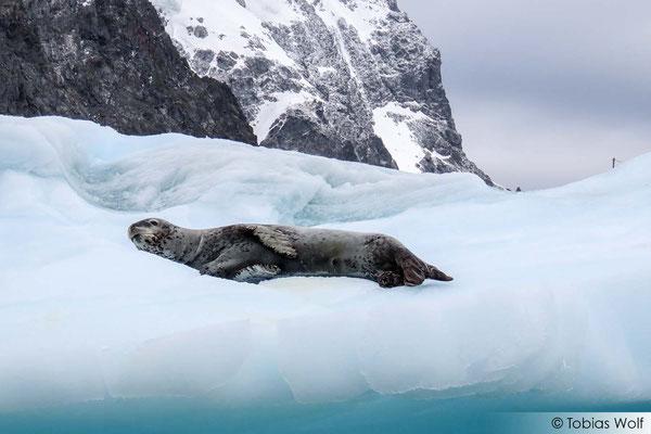Ein satter Seeleopard