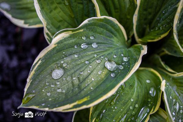 Regentropfen auf Funkie