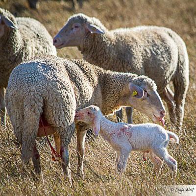 Woche 44 / Neugeborenes Lamm