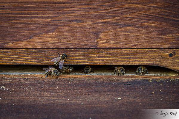 Woche 17 / Bienen