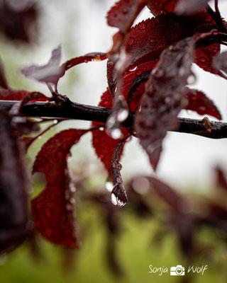 Regentropfen auf Blutpflaume