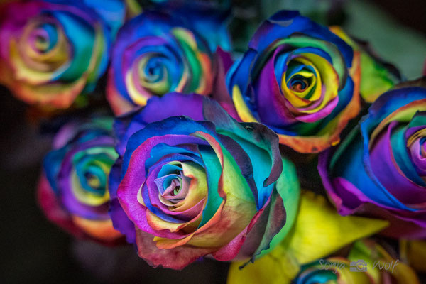 Regenbogen-Rosen