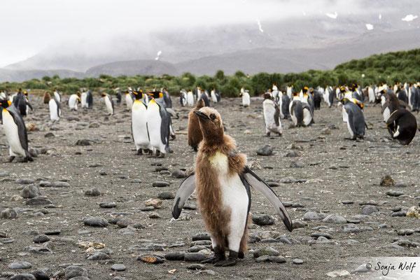 Kleiner Königspinguin