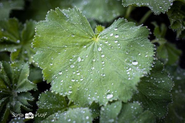 Regentropfen auf Frauenmantel