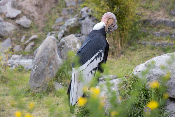 Anden-Kondor