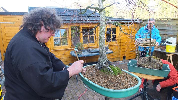 Umpflanzen der Birke
