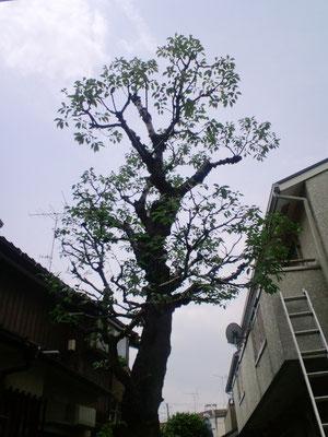 サクラ(ソメイヨシノ)