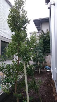 庭 モチノキ3本