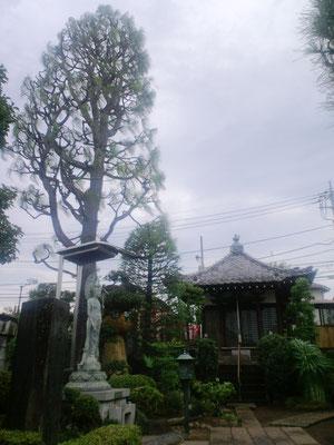 大王松とヒマラヤ杉