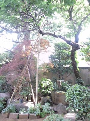 大雪で梅の木が枝折れし、竹で支柱の上、折れた部分にあて木をしました
