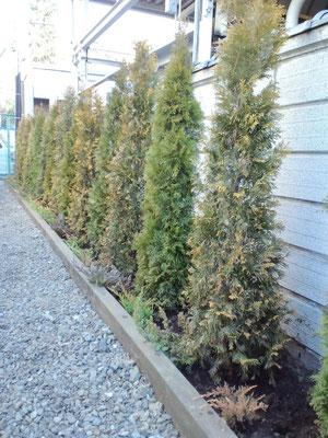 エメラウド、ヨーロッパゴールド交互に植樹 防草シート、砂利敷、枕木花壇