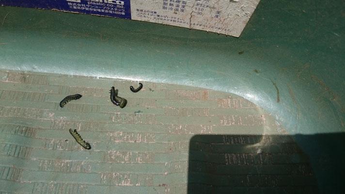 マツクイムシの幼虫