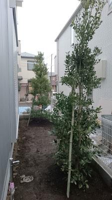 庭 モチノキ