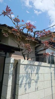 モミジ(ノムラ)