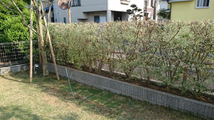 オリーブとシルバープリペットの垣根