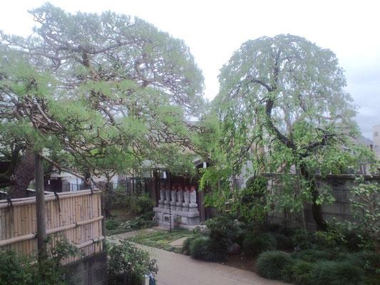 玄関から見た赤松と枝垂梅