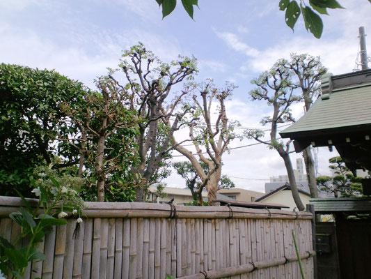 右から 樫 百十紅 欅 サンゴ樹 柚子