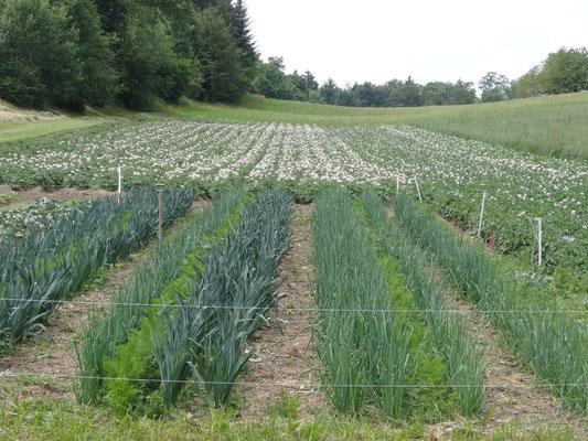 Gemüse- und Kartoffelfeld