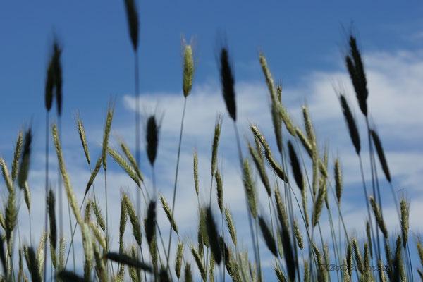 Das Korn wächst gen Himmel