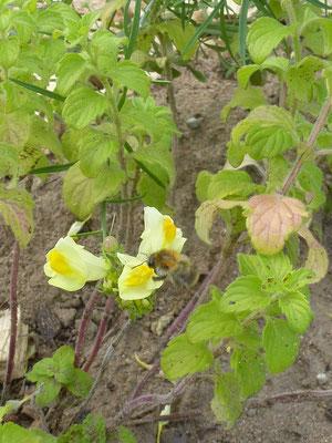 und an den ersten Blüten finden sich schnell ein