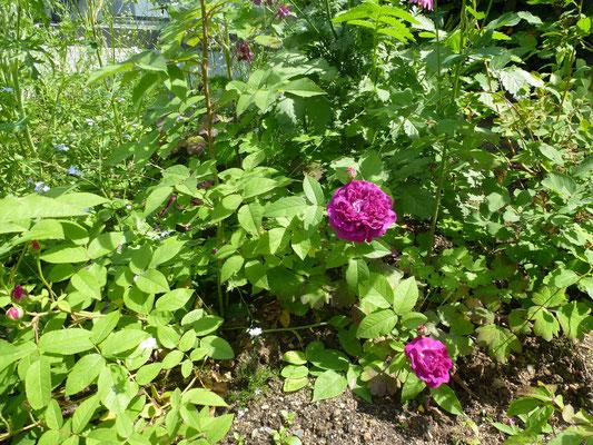und blüht, hier die Rosa centifolia à fleurs doubles violettes