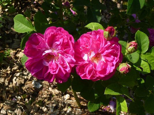 Rosa centifolia 'Gerda Nissen'
