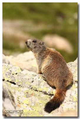 Marmotta Passo Maniva