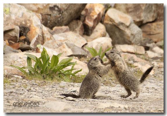 Marmotte Passo Maniva