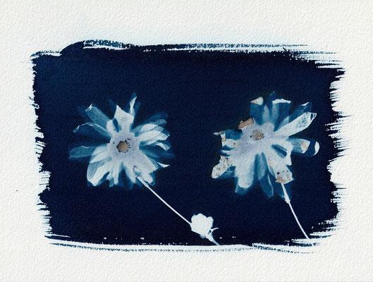 """Sibling flowers"", Cyanotype (23 x 16/5 cm), Hahnemühle-Papier,  2019"