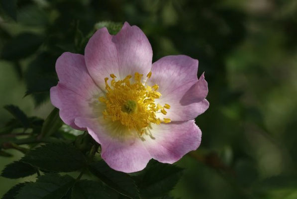 Nr.37 Wild Rose, Heckenrose, Quelle www.piqs.de von Karl Dietrich