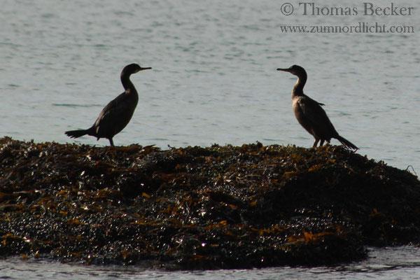 Zwei Kormorane ruhen sich nach dem Fischfang aus.
