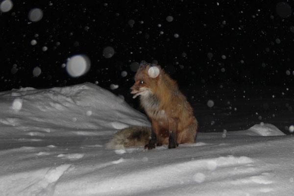 Fuchs im Schneesturm