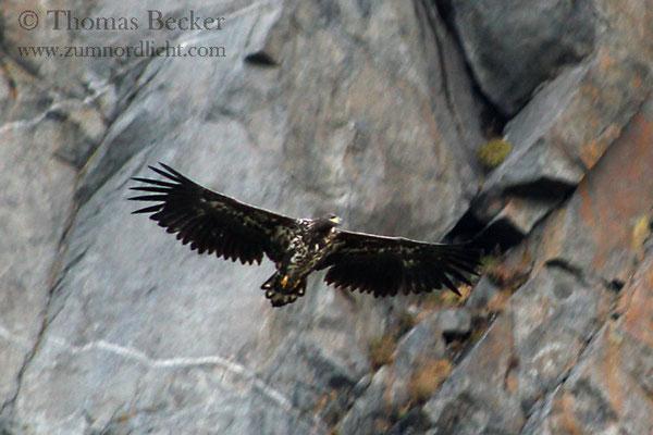 Ein Seeadler im Tiefflug vor einem Bergmassiv.