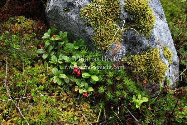 Arktische Flora - L18