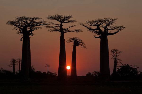 Madagaskar: Sonnenuntergang bei Morondava mit den Baobab Bäumen