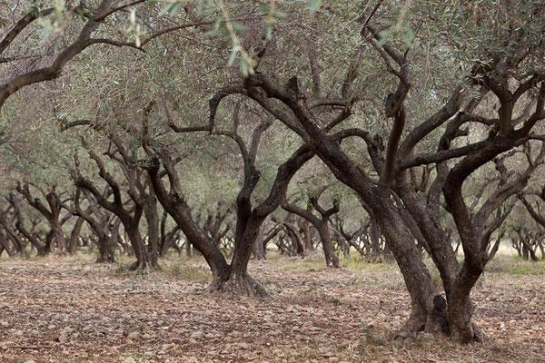 Olivenbäume in der Nähe von Bastia